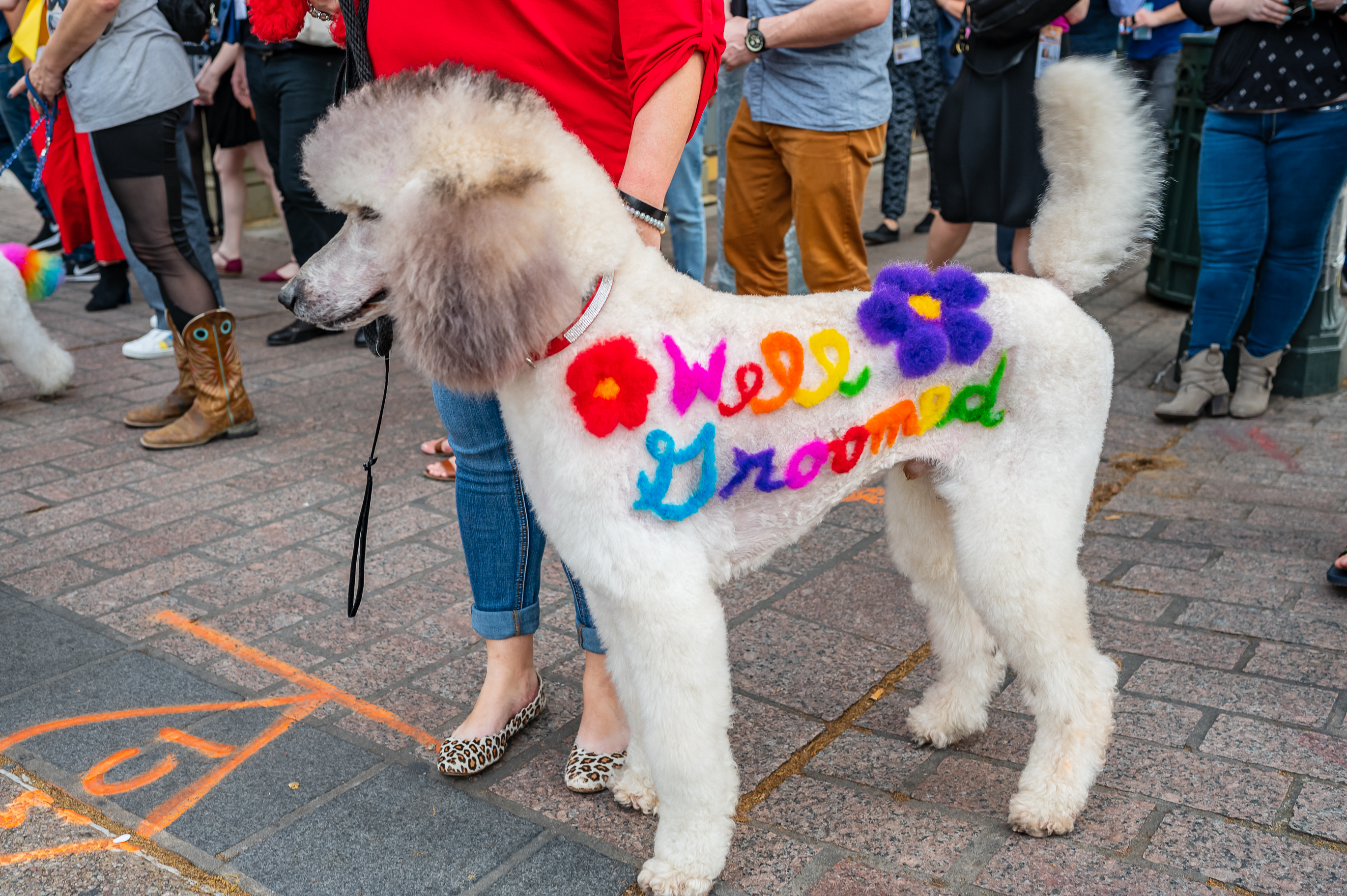 Colorful dog at the Well Groomed documentary premiere.